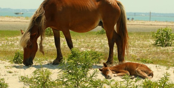 Shackleford-Banks-Horse-and-Foal