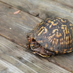 Have You Seen the Eastern Box Turtle