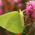 Cloudless Sulphur Butterfly Heading North
